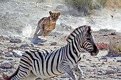 Lone female lion hunting zebras by waterhole, Etosha National Park, Namibia