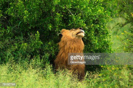Lion (Panthera leo) in a forest, Motswari Game Reserve, Timbavati Private Game Reserve, Kruger National Park, Limpopo, South Africa : Foto de stock
