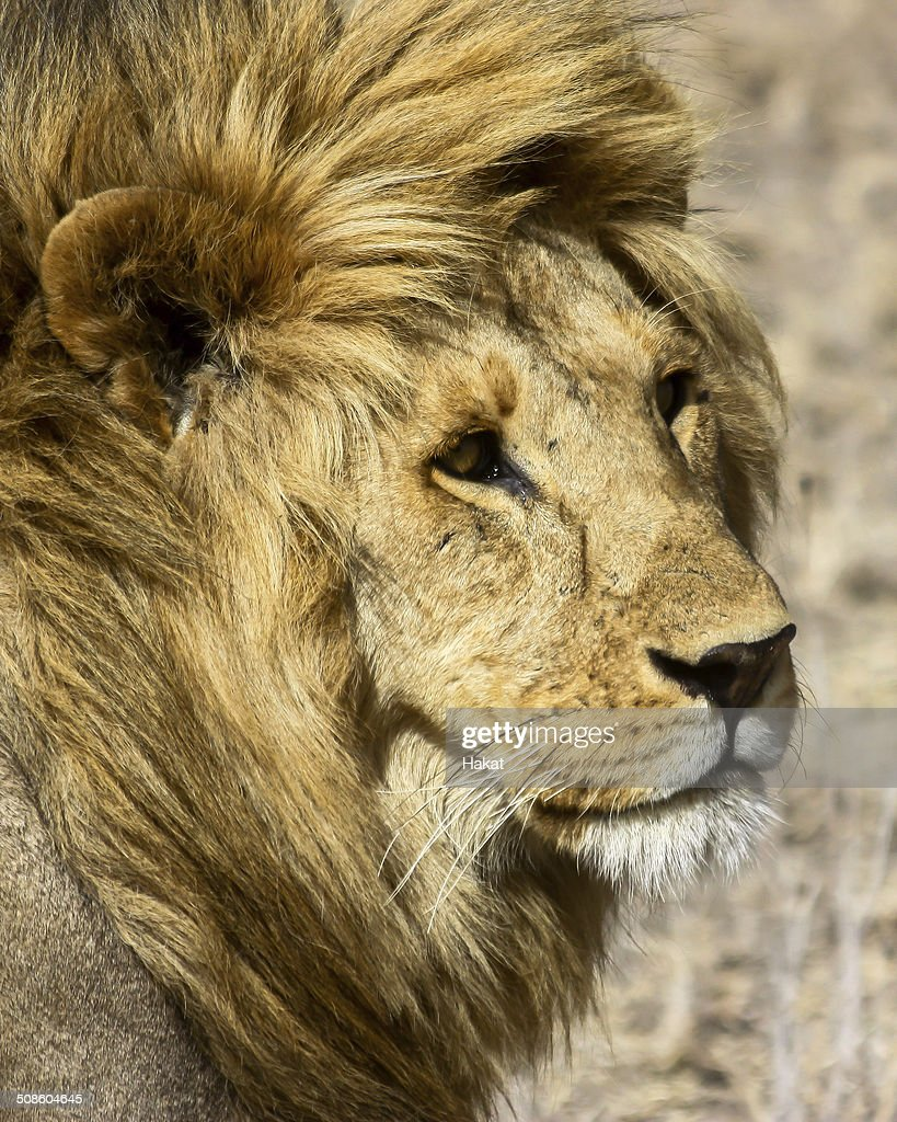 Lion in Africa : Stock Photo