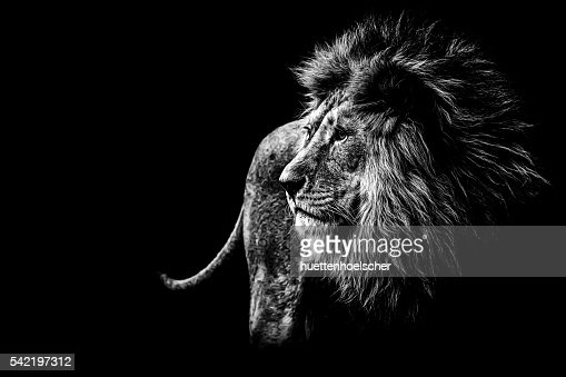 lion in black and white : Stock Photo