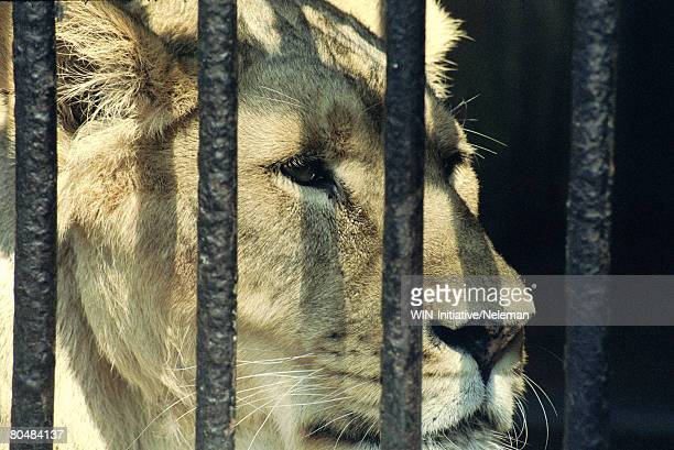Lion in cage, close-up