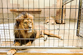 Beautiful lion (panthera leo) in a cage in captivity