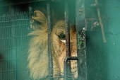 A captive lion sadly peers from his prison of chains and bars, longing for the freedom of the jungle.