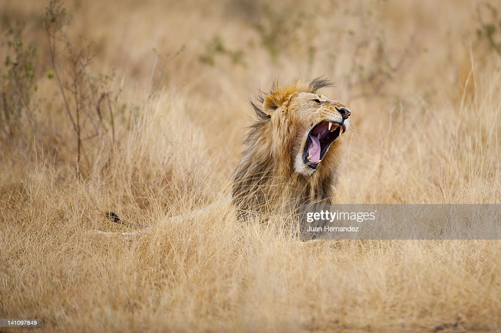 Lion in dry grass : Stock Photo