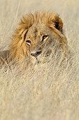 Lion (Panthera leo) in grass, Shumba Pan, Hwange National Park, Zimbabwe