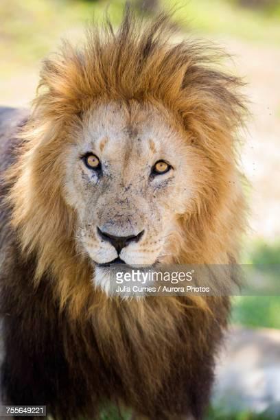 Lion in Maasai Mara, Kenya