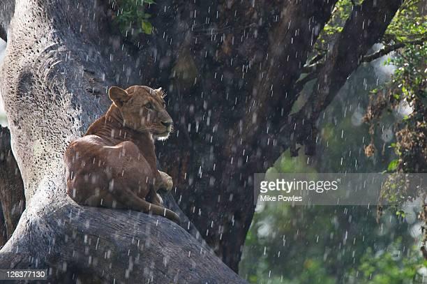 Lion (panthera leo) in rain, using tree to rest and , Nakuru, Kenya