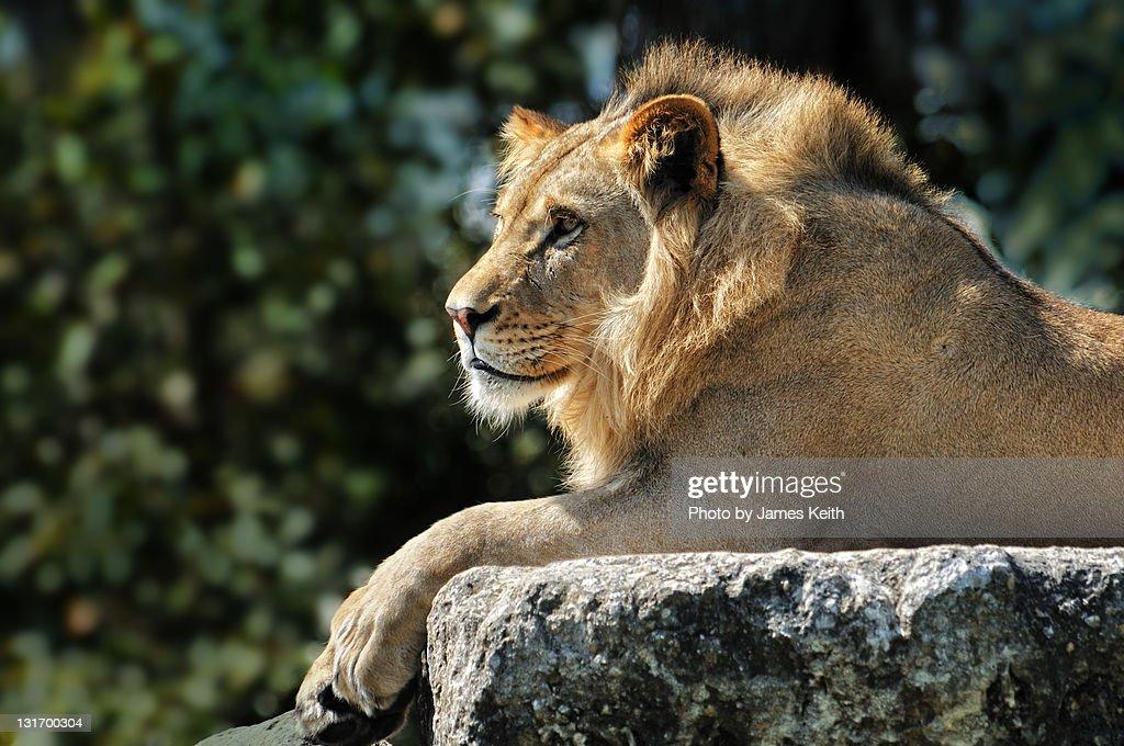 Lion in Repose : Stock Photo