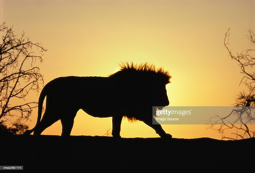 Lion in sunset : Stock Photo