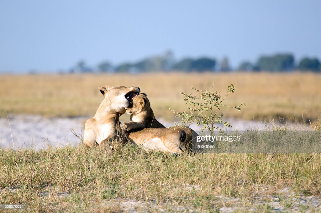 Lion in the bush veld : Bildbanksbilder