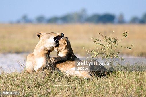 Löwe im Busch Veld : Stock-Foto
