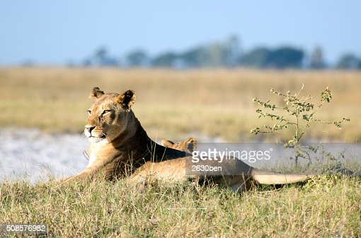 Lion in the bush veld : Bildbanksbilder