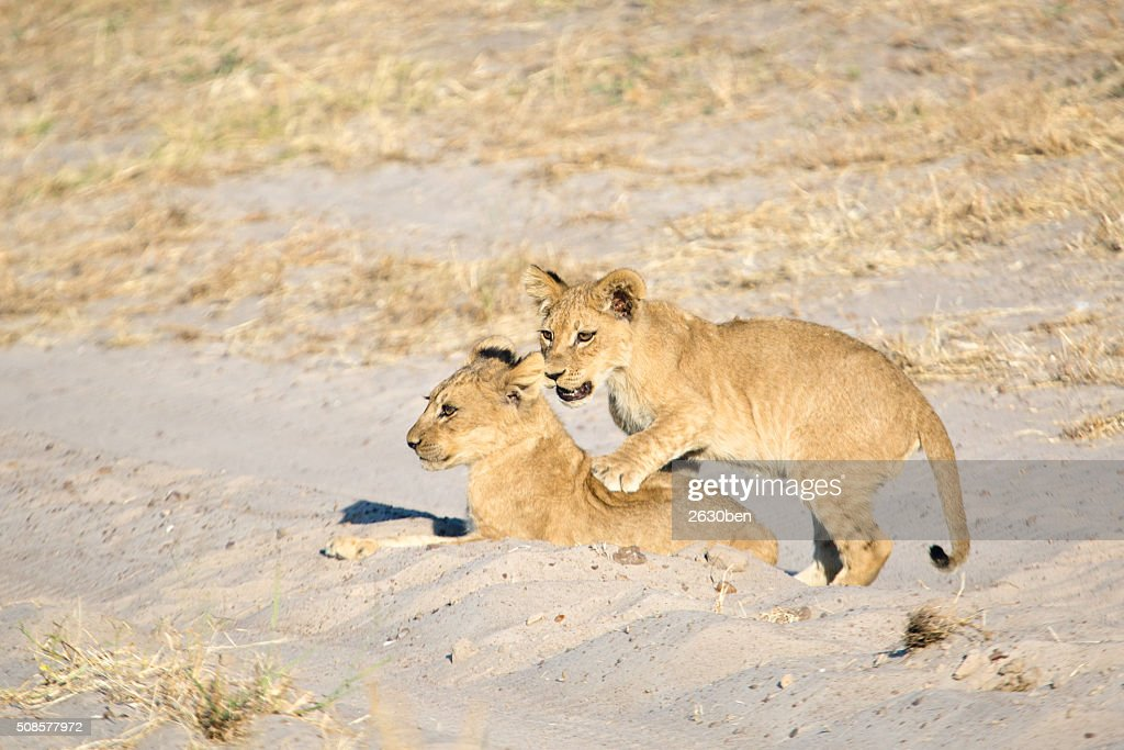Lion dans le Bush Veld : Photo
