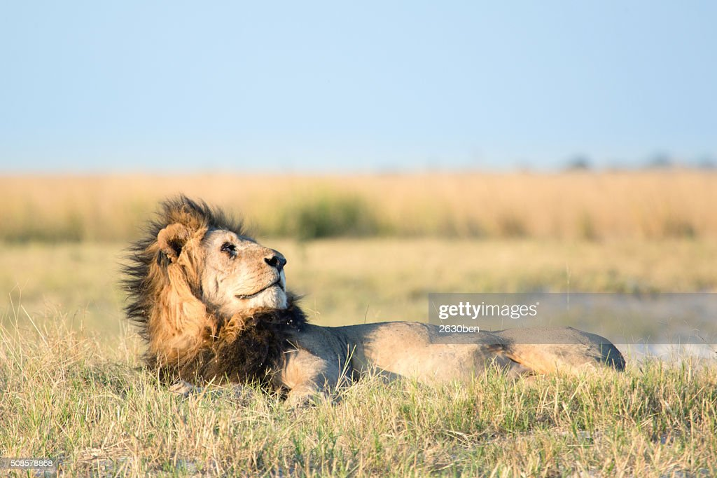 Lion in the bush veld : Stockfoto