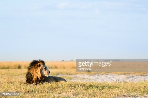 Lion in the bush veld : Stock Photo