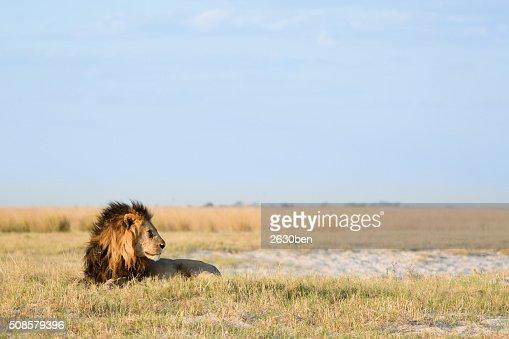 Leone nella savana Veld : Foto stock
