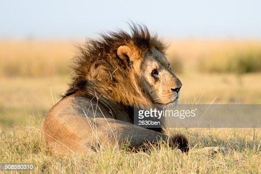 Lion in the bush veld : Stock Photo
