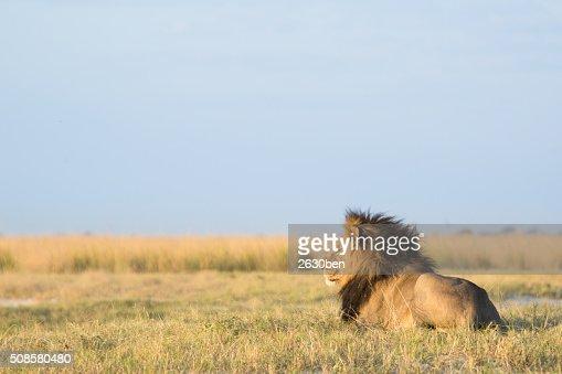 Lion dans le Bush Veld : Photo