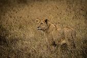 Lion in the field