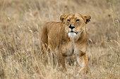 Lion in the wild