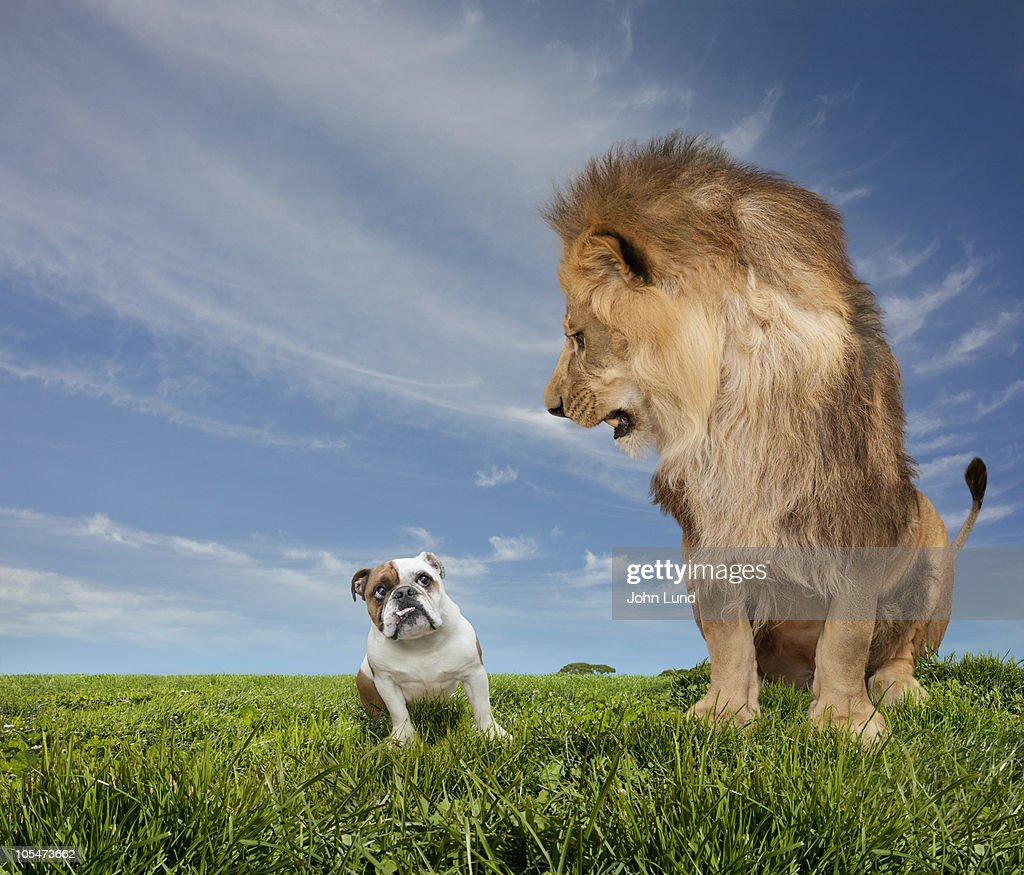 Lion Intimidating An English Bulldog : Stock Photo