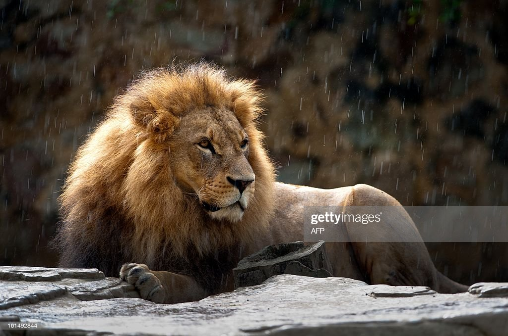 A lion is photographed in the zoo in Cali, Valle del Cauca department, Colombia, on February 11, 2013.
