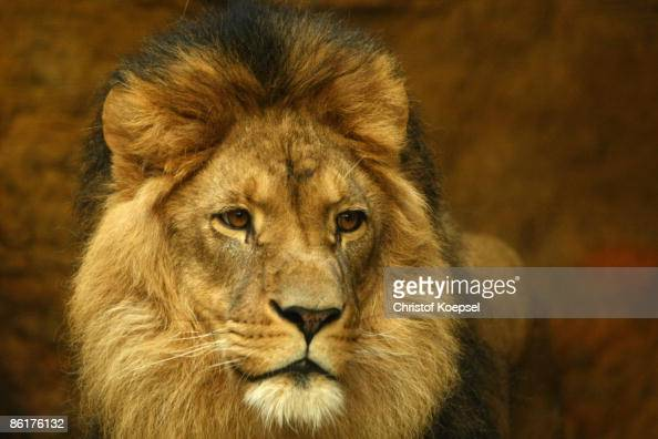 A lion is seen at the Wuppertal Zoo on April 8 2009 in Wuppertal Germany