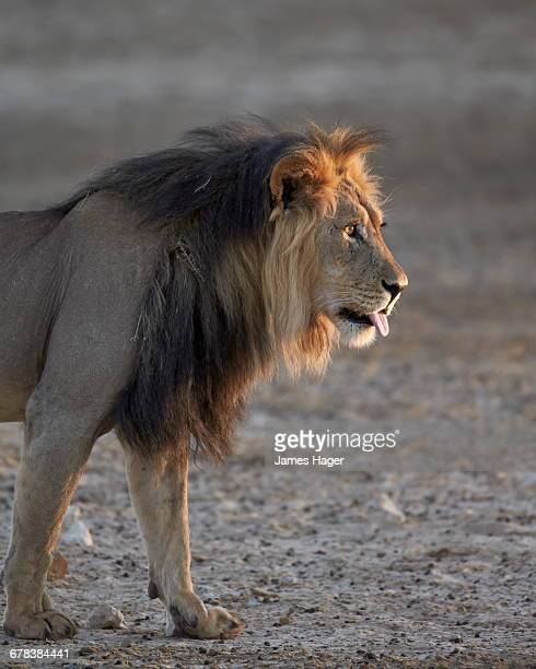 Lion (Panthera leo), Kgalagadi Transfrontier Park, encompassing the former Kalahari Gemsbok National Park, South Africa, Africa