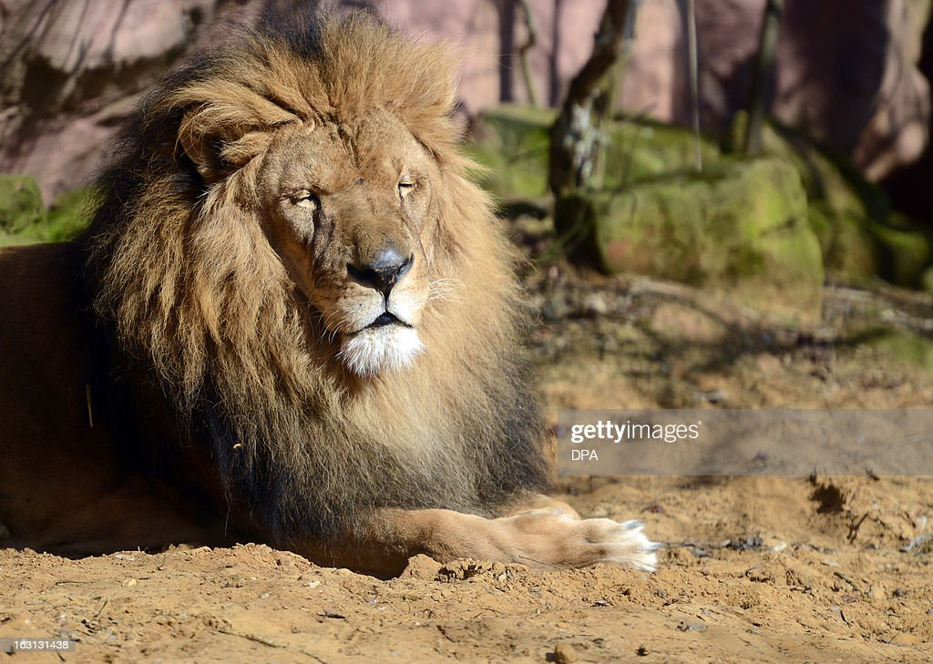 A lion lies in his enclosure at the Gelsenkirchen zoo and enjoys the sunny early spring day on March 5, 2013 in Gelsenkirchen, western Germany. AFP PHOTO / CAROLINE SEIDEL GERMANY OUT