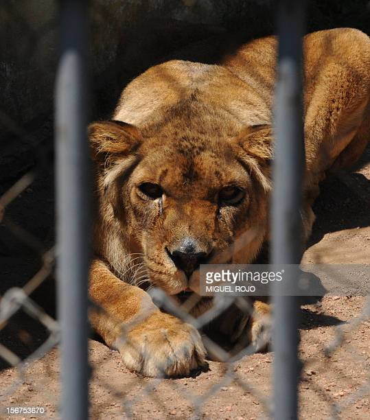 A lion lies in its cage at the zoo in Montevideo on November 20 2012 The 100yearold Montevideo Zoo will undergo reforms to cease being a place where...