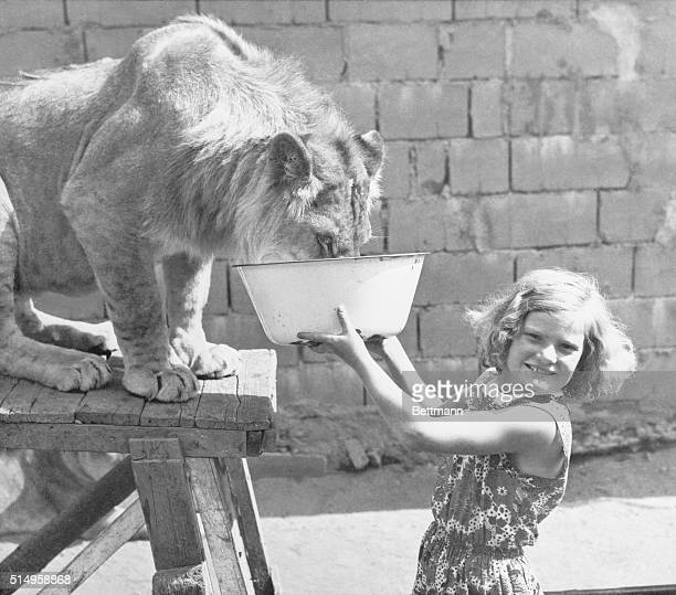 Lion Like a Lamb Altenberg Germany Behaving as tame as a lamb 18monthold Caesar takes drink from a dish held by 10yearold Gisela Niebling who is as...