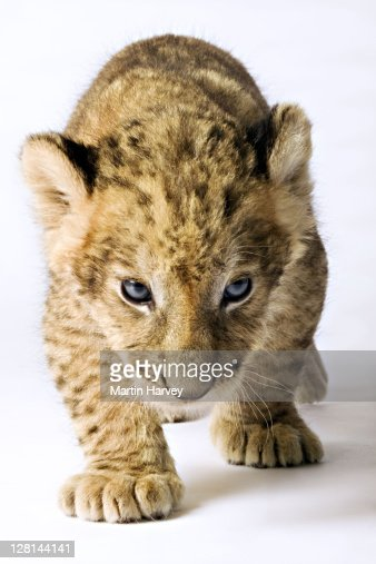Lion (Panthera leo). Lion cub against white background. Studio shot. Dist. Sub-Saharan Africa. : Photo