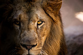 Lion looking straight into the camera.
