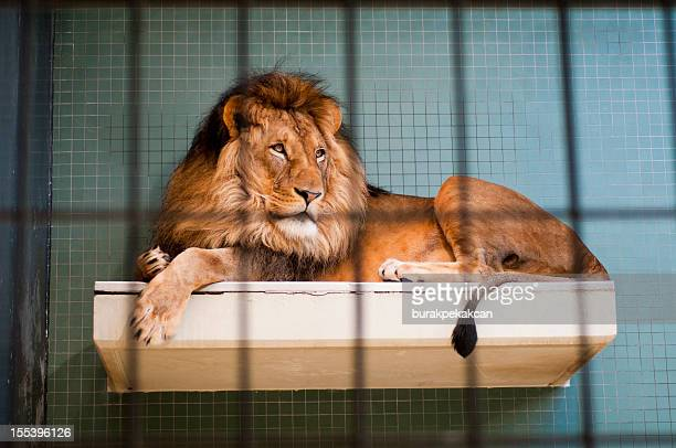 Lion lying behind bars at the Berlin city zoo