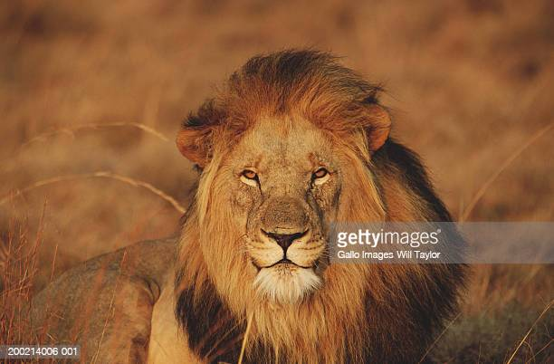 Lion (Panthera leo) lying in field, close-up