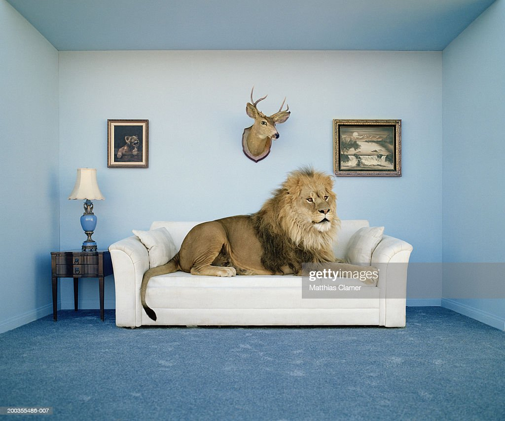 Lion lying on couch, side view : Stock Photo