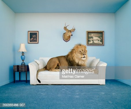 Lion lying on couch, side view