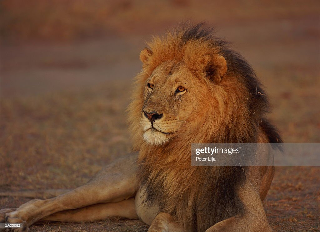 Lion (Panthera leo) lying on ground, close-up : Stock Photo
