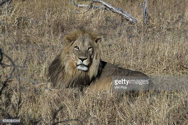 A lion lying peacefully in ls savannah camp near Savute Elephant Camp by Orient Express in Botswana in the Chobe National Park The five major...