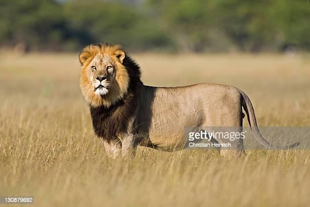 Lion (Panthera leo), male, Central Kalahari Game Reserve, Botswana, Botswana, Africa
