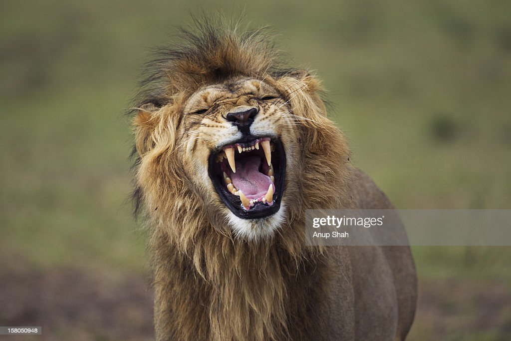 Lion male making a 'Flemen' gesture
