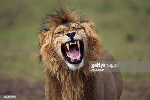 Lion male making a 'Flemen' gesture