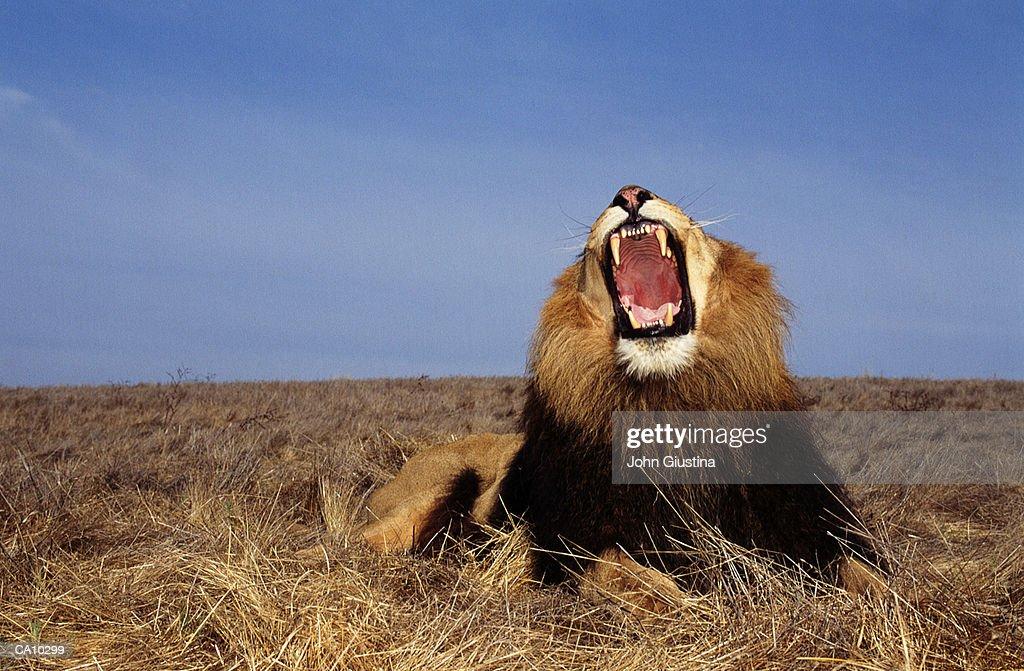 Lion (Panthera leo), mouth wide open : Stock Photo