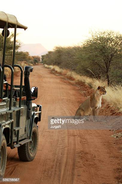 Lion next to Safari Jeep on the road Namibia Africa