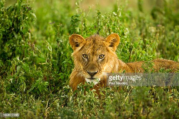 Lion, Ngorongoro Conservation Area, Tanzania