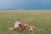 Lion Nursing Cubs Stock Photo