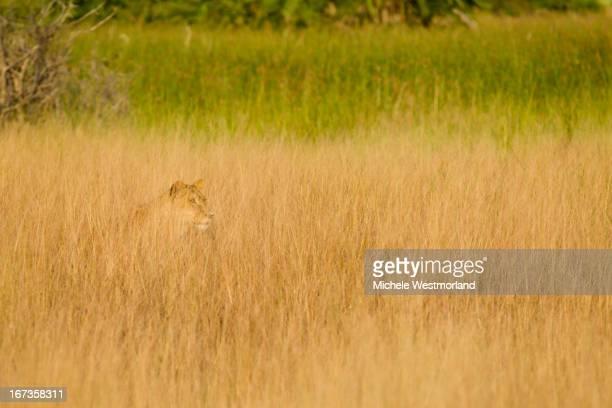 Lion, Okavango Delta, Botswana.