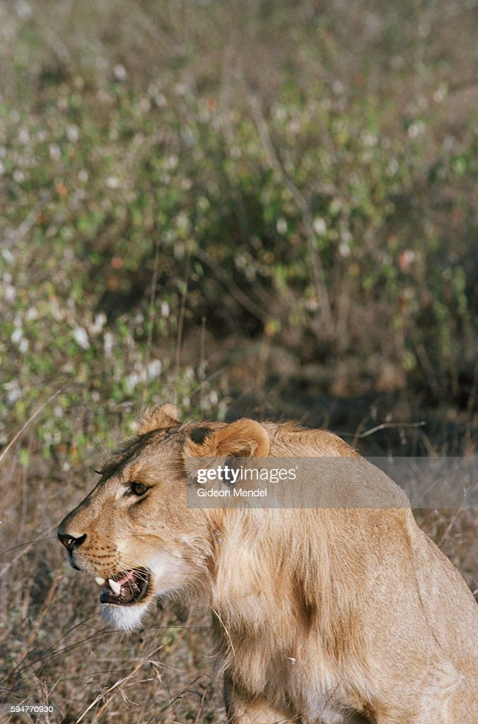 A lion on Mugie Ranch in the Laikipia District It is part of a group of lions being tracked for research purposes by the Laikipia Predator Project...