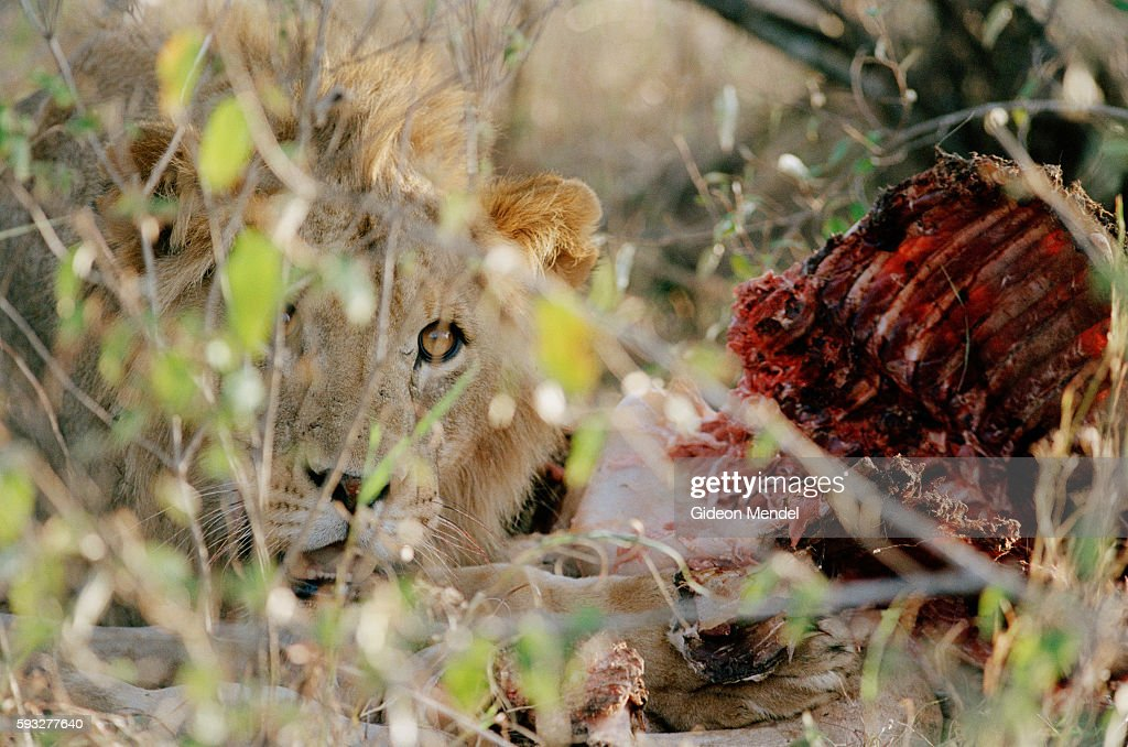 A lion on Mugie Ranch pauses while eating a baby giraffe It is part of a group of lions being tracked for research purposes by the Laikipia Predator...