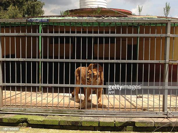 A lion paces his cage at the Addis Ababa Zoo Park centre where a zookeeper was killed by a lion on September 16 2013 after he forgot to close the...